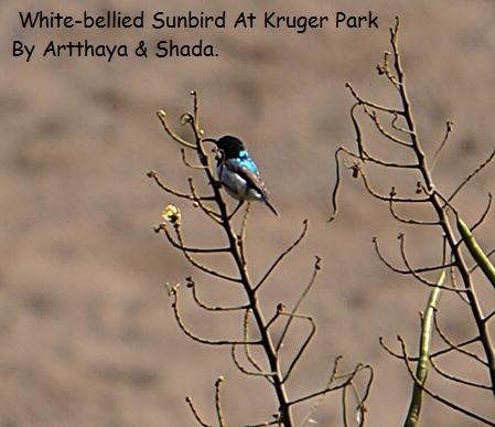 White-bellied Sunbird1.JPG