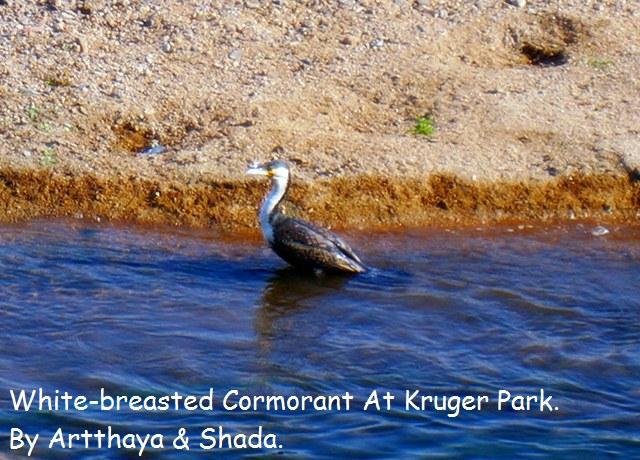 White-breasted Cormorant.JPG